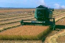 Riziculture (récolte du riz)