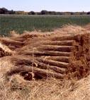 Récolte de la sagne (roseau)