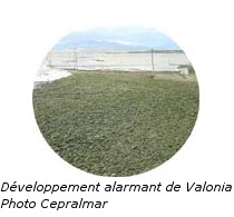 Développement alarmant de Valonia
