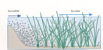 Figure 2 : le rôle d'épuration d'une lagune