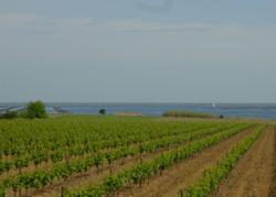 Viticulture sur les marges de l'étang de Thau